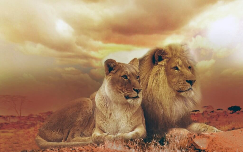 femle_male_lions-lion wallpapers