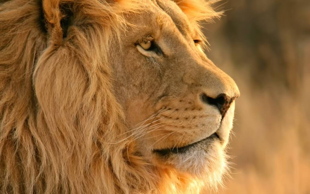 lion-africa-kinglion-wallpapers