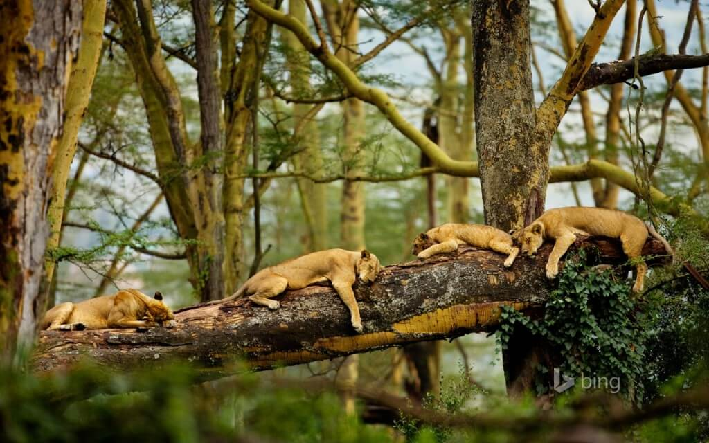 sleeping_lions-many-lions-tree