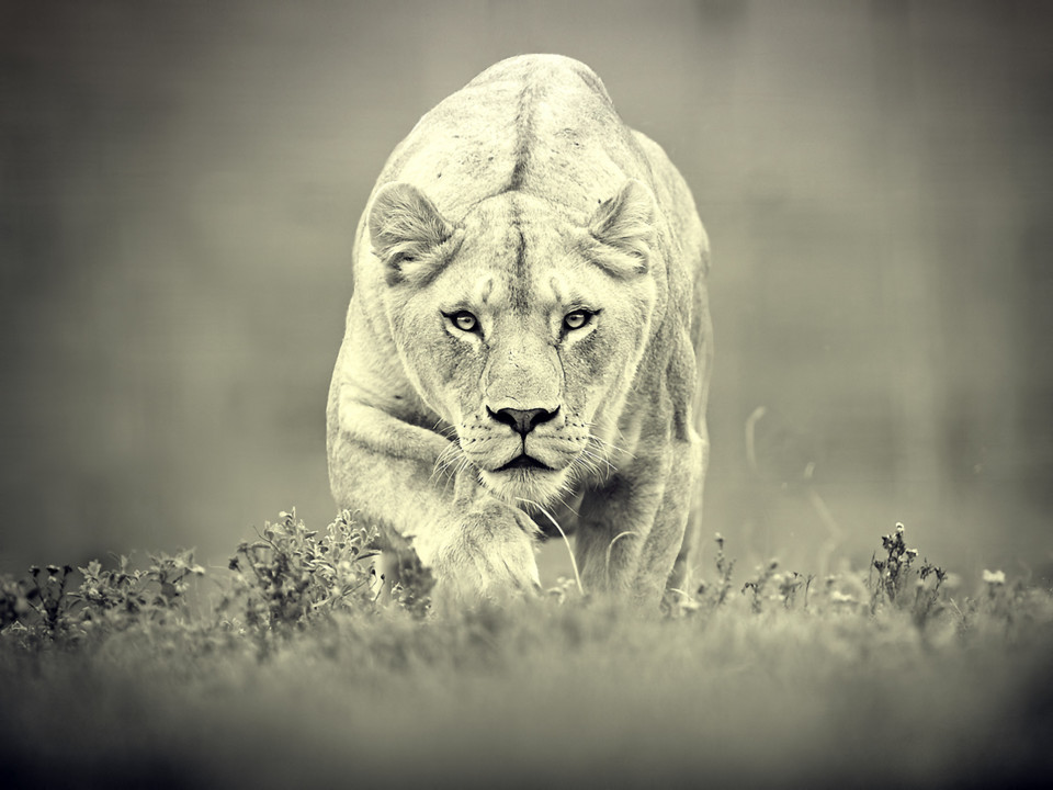 Hunting Lioness Background