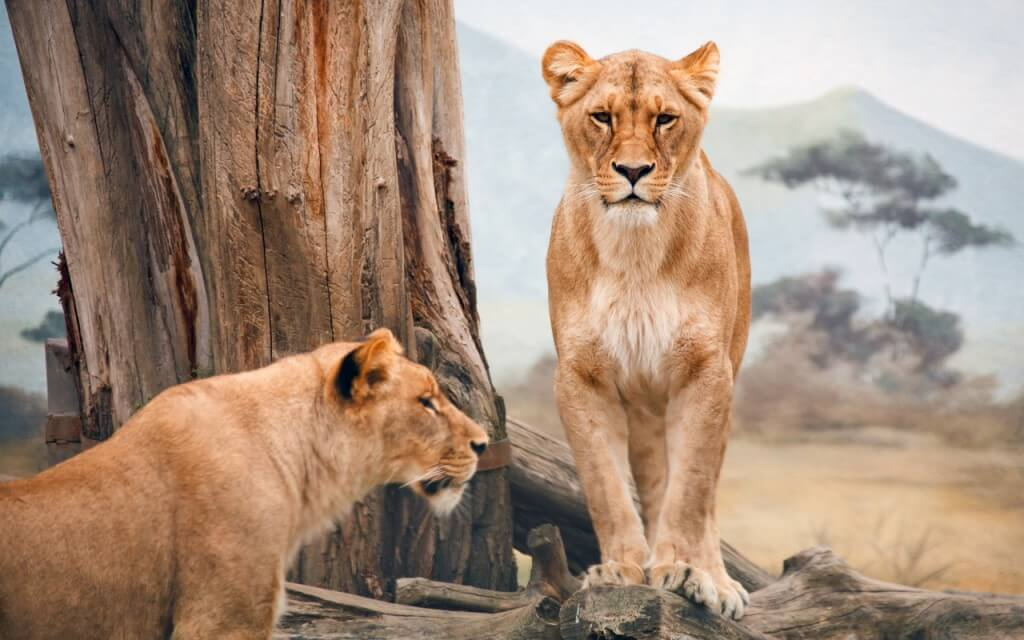 african_lioness-wallpapers