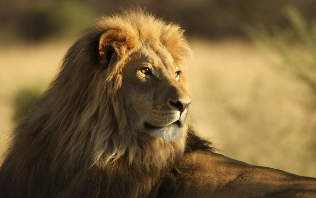 the_male_african_lion-wallpapers