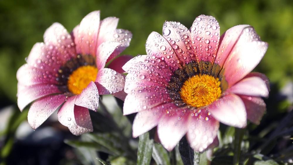 HD Flower Wallpaper