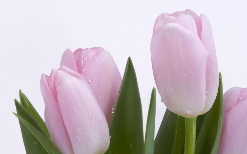 HD Pink Flower Background