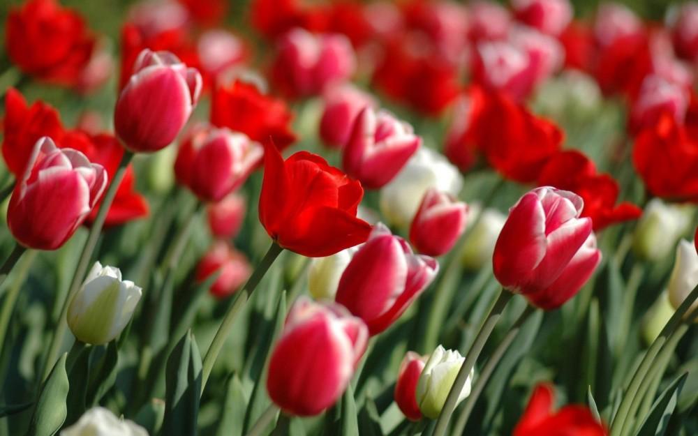 Tulip Desktop Wallpaper