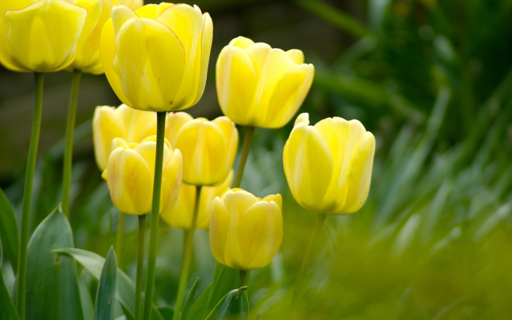 Tulip Flowers Wallpaper