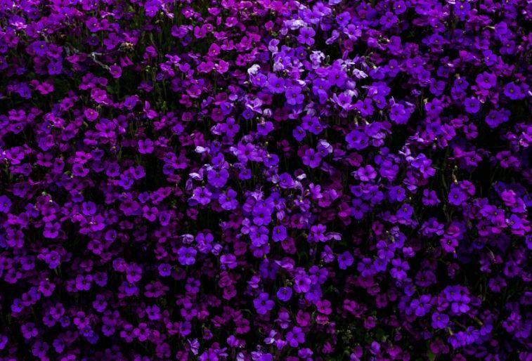 Free Purple Flower Backgrounds