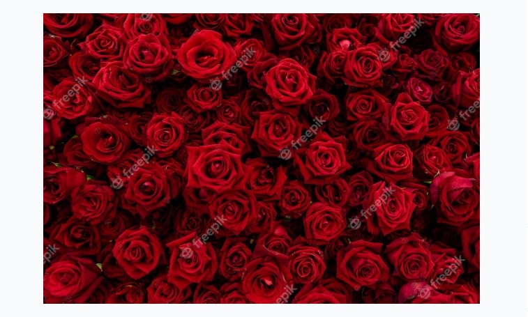 Free Red Rose Backgrounds