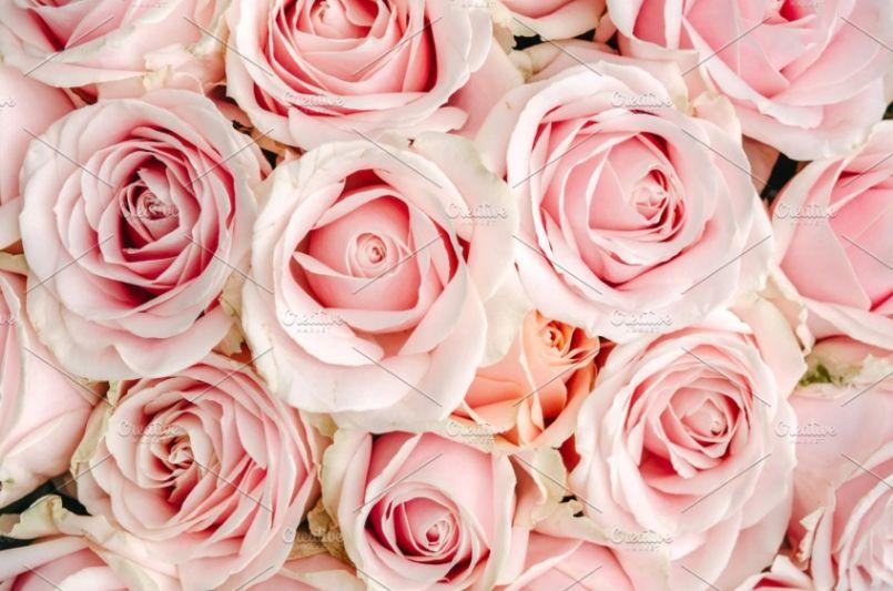 Pink Rose Wallpapers Designs